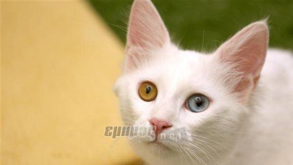 6a8dda0504e9 Οι γάτες του Βαν - EmprosNet.gr