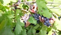 Παράταση προθεσμίας αιτήσεων επιστροφής ή διαγραφής Ειδικού Φόρου Κατανάλωσης κρασιού